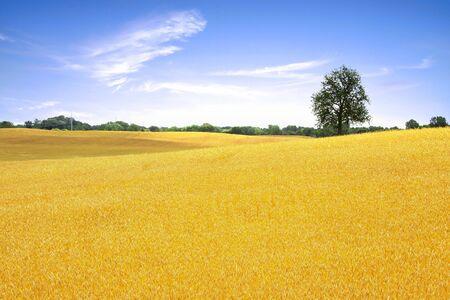 Single tall tree by golden wheat farm photo