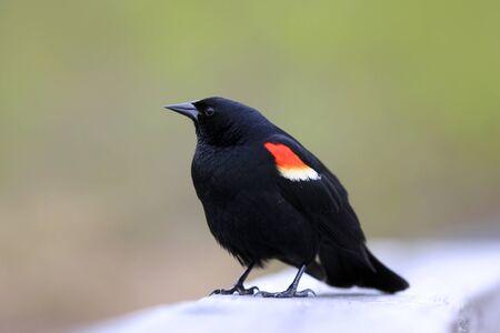 blackbird: Close up shot of red winged black bird Stock Photo