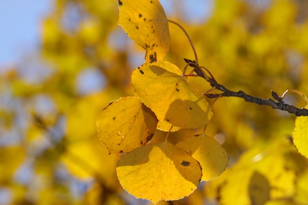 Close up shot of Aspen tree leaves in fall photo