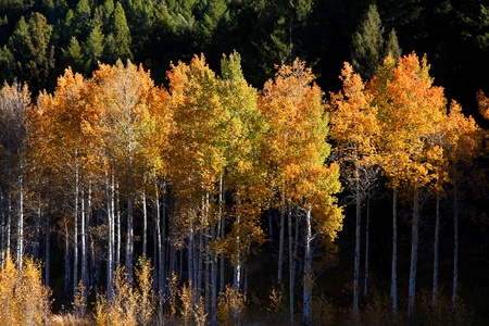 aspen leaf: Tall yellow Aspen trees in the autumn time