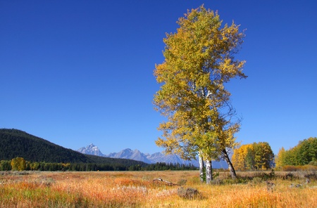 Tall colorful Aspen trees in prairie landscape