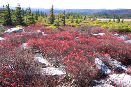 west virginia trees: Dolly sods scenic area in West Virginia