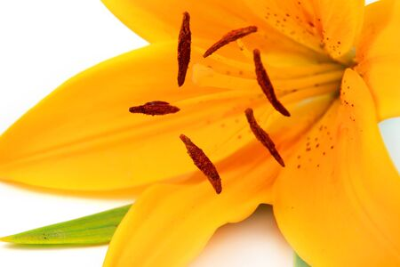 Vibrant tiger lily flower on white background photo