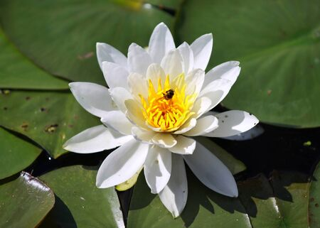 Close up shot of water lily flower and leaves Stock Photo - 11768606