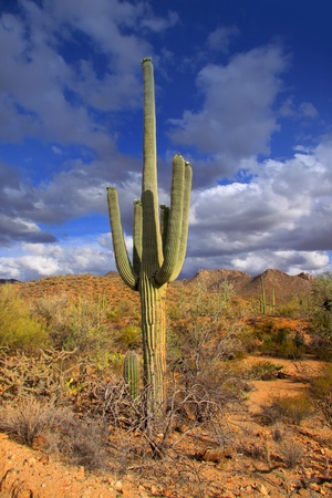 Tall cactus plant in Sonora desert in Arizona photo