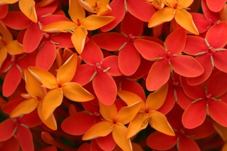 Ashoka flowers, Popular flowers grows in Southern India Stock Photo - 11972435