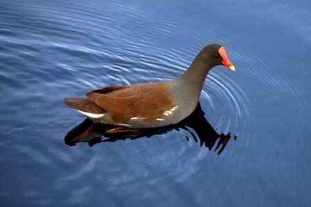 moorhen: Beautiful Moorhen in the blue lake