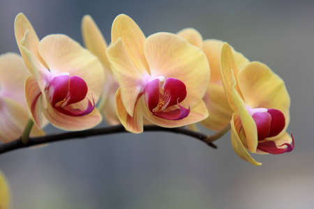 Yellow Orchid flowers Stock Photo - 12429240