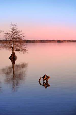 Cypress tree in the lake photo