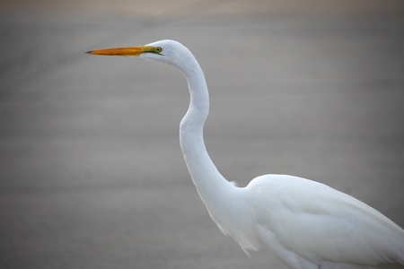 Close up shot of white crane bird Stock Photo - 12902847