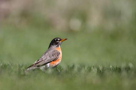 robins: Close up shot of beautiful Robin bird