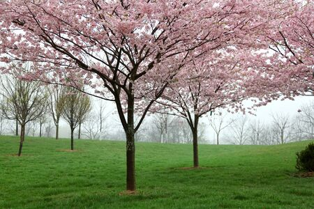 Cherry blossom on trees during spring time photo