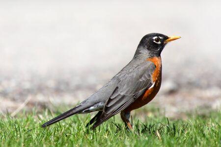 Close-up shot van mooie Robin