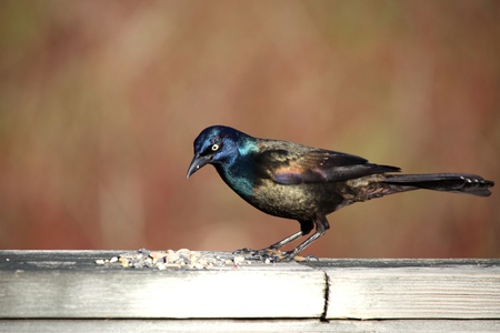 Close up shot of Common Grackle bird