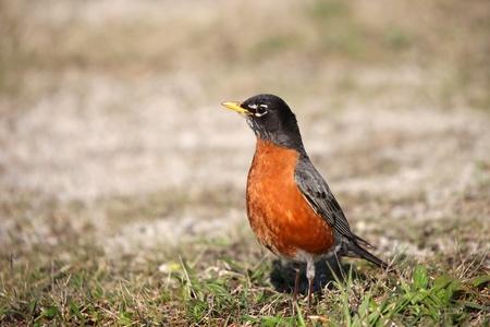 kleine Robin vogel op de grond Stockfoto