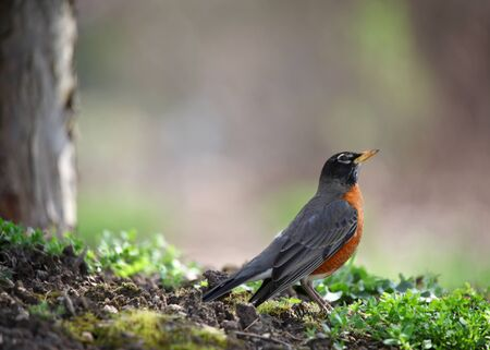 songster: Small Robin bird under the tree