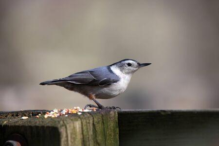 Close up shot of Nut hatcher bird photo