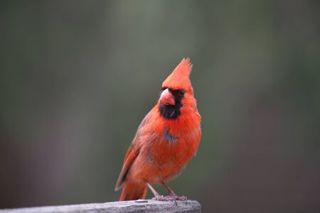 Red male Cardinal bird on the fence photo