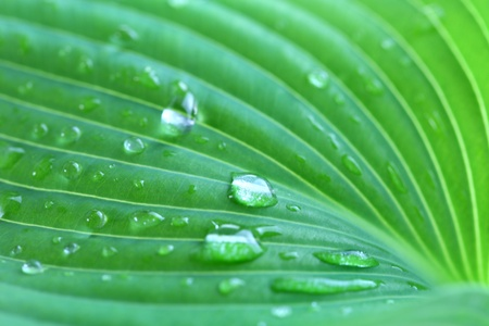 dew drop: Water drops of Hosta leaf