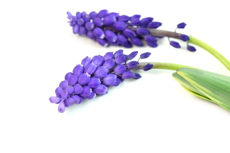 Hyacinth flowers photo
