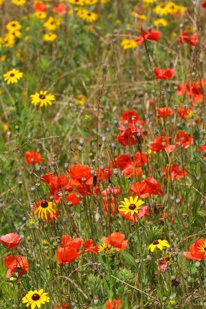 hirta: Black eyed Susans and poppy flowers in the garden
