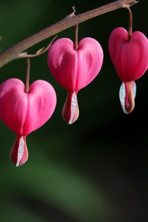 Three bleeding hearts on a branch  photo