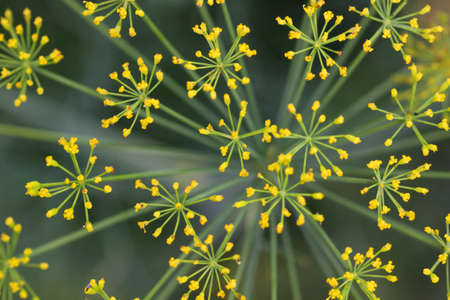 Lady s mantle flower background Imagens - 13619085