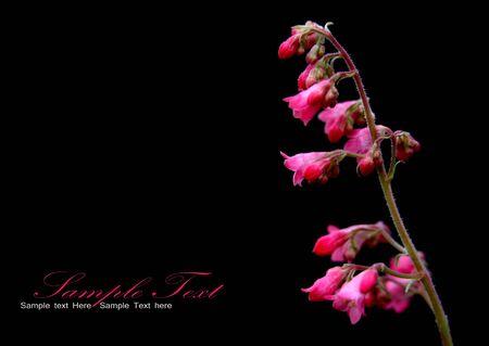 サンゴ黒の背景上に花を鐘します。 写真素材