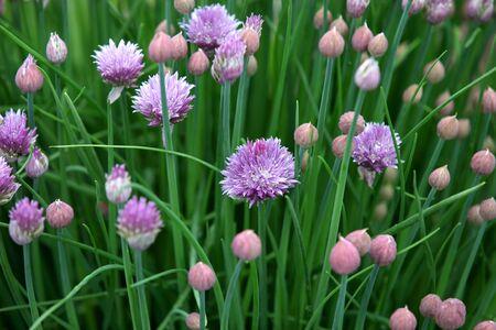 Allium flower buds in the garden photo