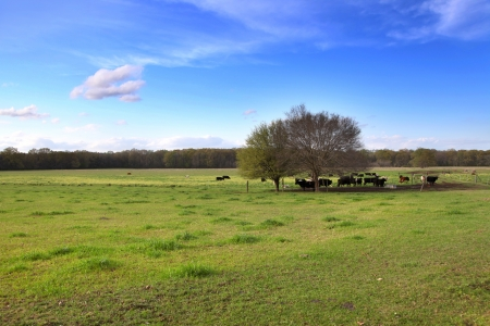 mississippi: Cattle in the farm in Mississippi state
