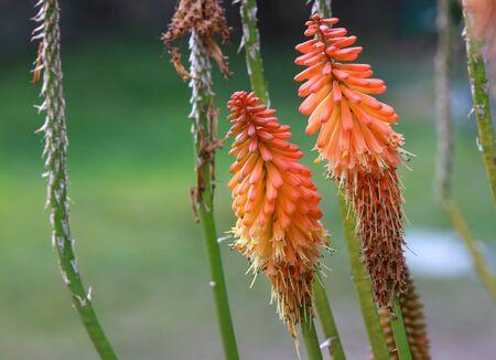 plummage: Cierre de tiro de dos flores de color rojo atizador caliente