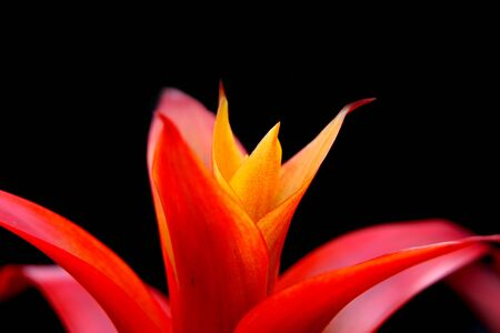Extreme close up shot of Guzmania flower photo