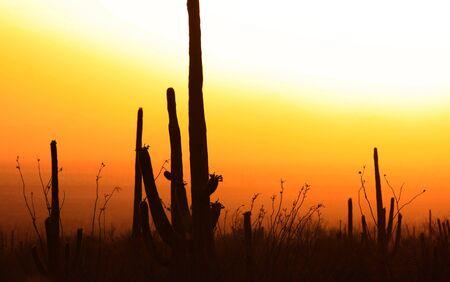 southwestern: Saguaro cactus in sonaran desert with sunset Stock Photo