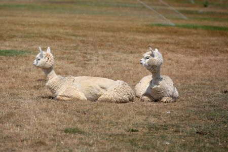 Two little lamas on the grass  photo