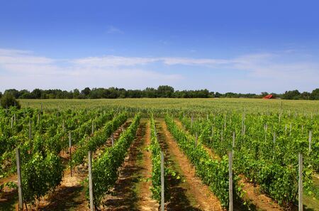 Scenic Vine yards landscape in Michigan photo