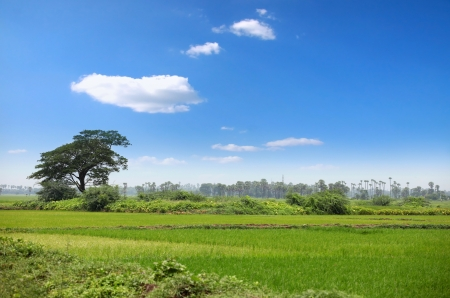 agriculture india: Lush green paddy fields in India