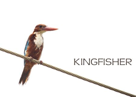 Common Kingfisher bird on white background photo