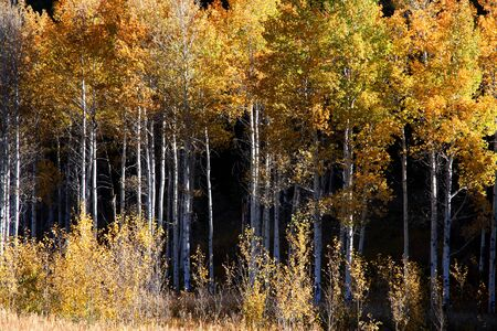 Tall colorful aspen trees in the forest photo