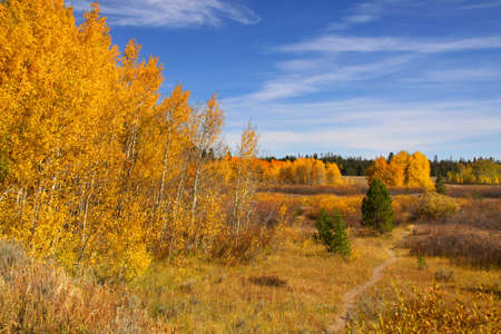 Colorful aspen trees against blue sky in autumn  photo