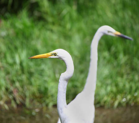 and egrets: Two  Eastern great Egrets in the grass lands