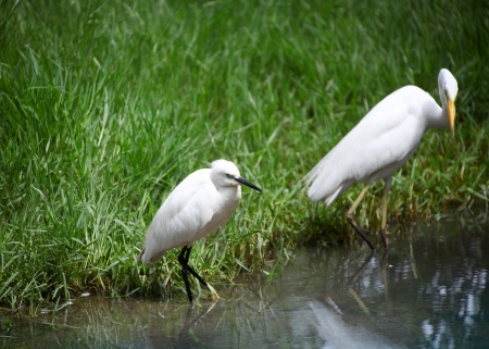 chilika: Little Egret and Great Eastern Egert in grass lands of India