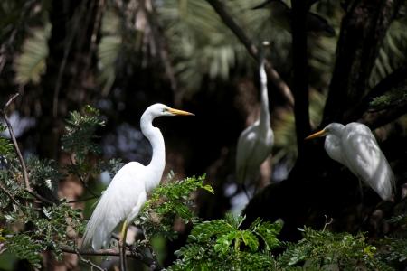 chilika: Eastern Great Egret