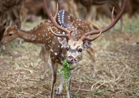 asia deer: Spotted deer mostly found in India Stock Photo