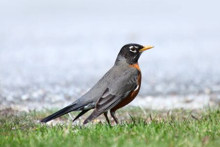 songster: Close up shot of Robin bird