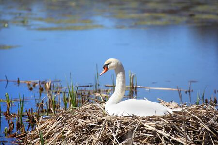 White Swan hatching eggs in the nest Stock Photo - 15764340