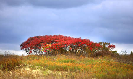 red bush: Red bush in autumn time with cloudy sky background