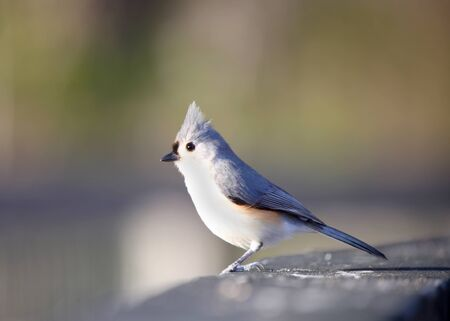 titmouse: A beautiful Tufted Titmouse bird on the fence