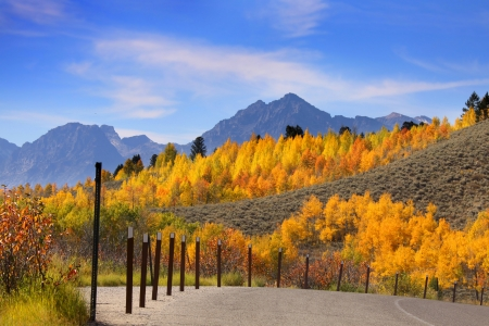 yellow trees: Bright yellow Aspen trees in Grand Tetons national park