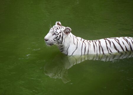 White tiger in the green water photo