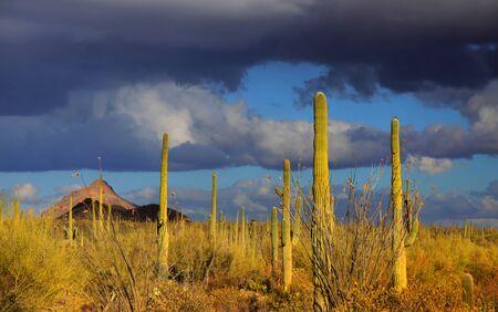 cactus desert: Saguaro national park